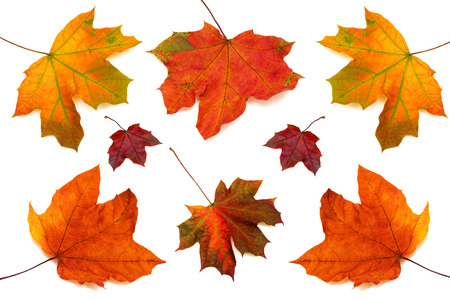 Photo pour Collection of maple leaves isolated on white background - image libre de droit
