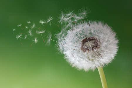 Foto de Dandelion seeds in the morning mist blowing away across a fresh green background - Imagen libre de derechos