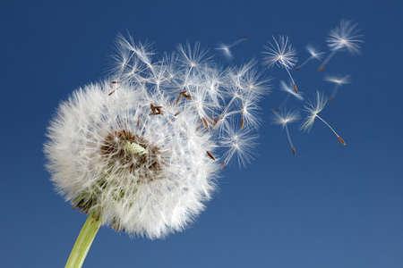 Foto de Dandelion with seeds blowing away in the wind across a clear blue sky - Imagen libre de derechos