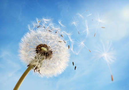 Photo pour Dandelion seeds in the morning sunlight blowing away in the wind across a clear blue sky - image libre de droit