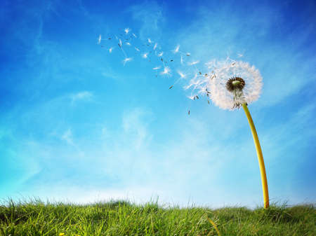 Foto de Dandelion with seeds blowing away in the wind across a clear blue sky with copy space - Imagen libre de derechos