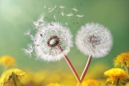 Photo pour Dandelion seeds in the morning sunlight blowing away across a fresh green background - image libre de droit