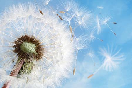 Foto de Dandelion seeds in the morning sunlight blowing away in the wind across a clear blue sky - Imagen libre de derechos