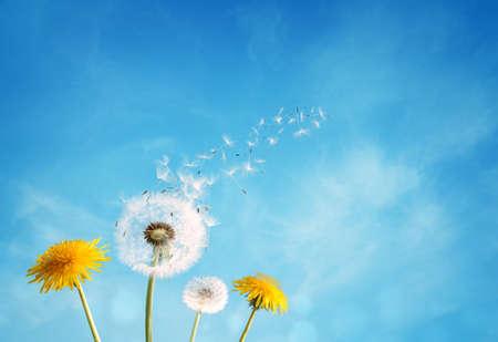 Foto de Dandelion with seeds blowing away in the wind across a clear blue sky with copy space - Imagen libre de derechos