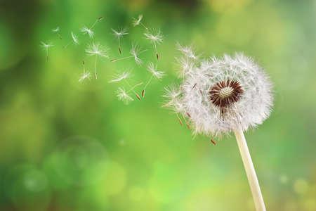 Foto de Dandelion seeds in the morning sunlight blowing away across a fresh green background - Imagen libre de derechos