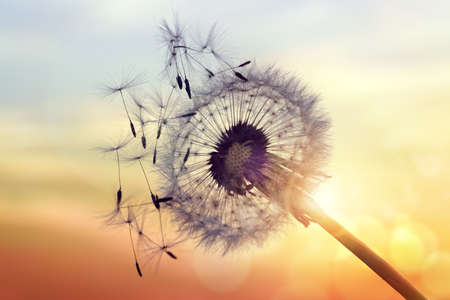 Foto de Dandelion silhouette against sunset with seeds blowing in the wind - Imagen libre de derechos