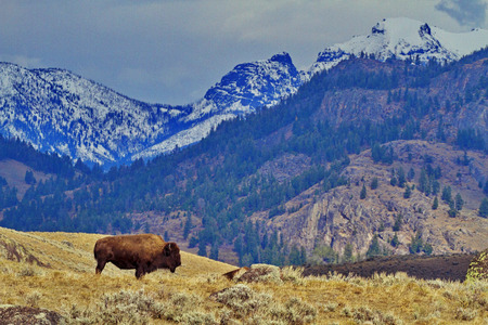Foto de Single bison stands against backdrop of mountains on Grand Loop Road of Yellowstone National Park in Wyoming - Imagen libre de derechos
