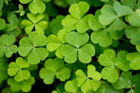 Photo for Three leaf clovers - Royalty Free Image