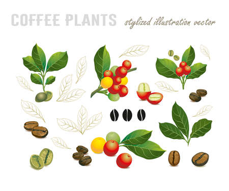 Illustration for Collection of coffee beans on a branch of coffee tree, ripe and unripe berries isolated on white background - Royalty Free Image