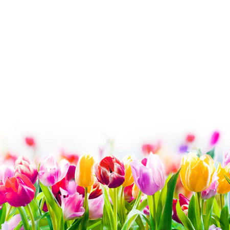 Photo for Field of colourful spring tulips fading into the distance as a lower border on a white background with copyspace - Royalty Free Image