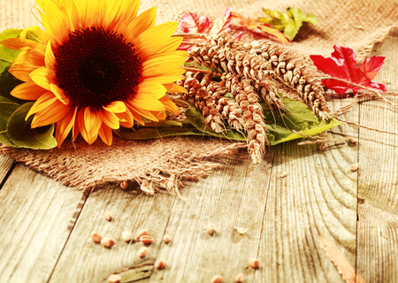 Foto de Summer or fall background with a vivid yellow fresh sunflower and freshly harvested ripe ears of wheat on a square of hessian fabric on rustic wooden boards with copyspace - Imagen libre de derechos