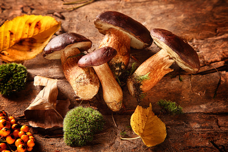 Foto de Healthy autumn harvest of fresh woodland fungi with boletus mushrooms and rose hips with moss and colorful fall leaves on a rustic wooden background for seasonal cuisine - Imagen libre de derechos
