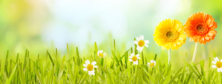 Foto de Colorful fresh panoramic spring banner with orange and yellow flowers and white daises in new green grass in a garden or meadow with copy space over a blurred nature background - Imagen libre de derechos