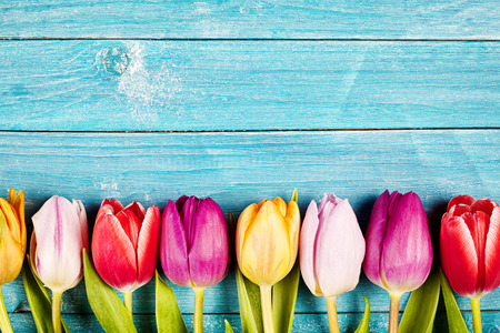 Photo pour Colorful fresh tulips aligned on a rustic wooden surface made of horizontal boards painted with blue - image libre de droit