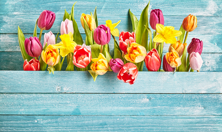 Foto de Tulip border with copy space on turquoise wooden background plate for design concepts in seasonal spring time. - Imagen libre de derechos