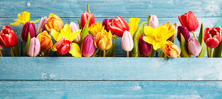 Photo for Colorful arrangement of fresh spring flowers with tulips and narcissus symbolic of the season in a gap between rustic blue wooden boards with copy space, panoramic banner or wide angle format - Royalty Free Image