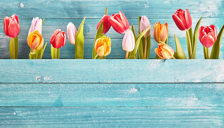 Photo for Still life border of colorful fresh spring tulips arranged as a row between two blue-green rustic wooden panels with copy space below - Royalty Free Image