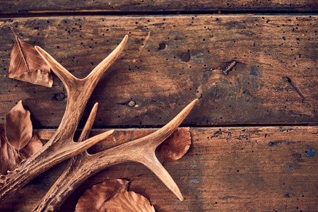 Photo pour A pair of stag antlers with fallen brown winter leaves on an old, rustic wood plank background. - image libre de droit