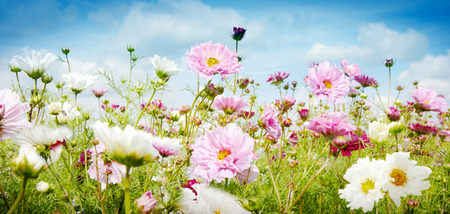 Foto de Pretty spring banner with pink and white flowers growing in a meadow under a cloudy blue sky in a low angle close up view - Imagen libre de derechos