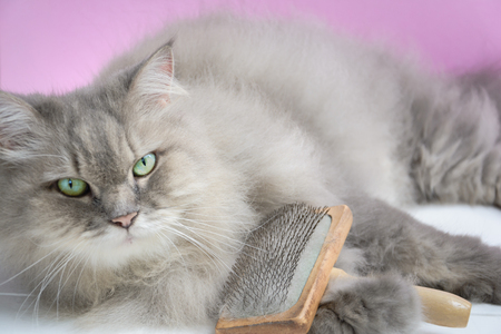 Photo for Brush the cat fur comb on a wooden table and gray persian cat. Enjoy and happy the pink wall background.selective focus - Royalty Free Image