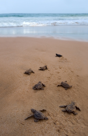 Photo for Baby turtles making it's way to the ocean - Royalty Free Image