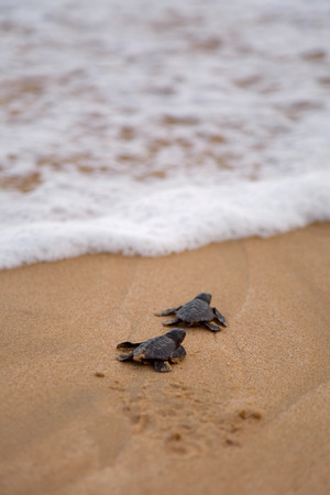 Photo for Loggerhead sea turtle emergence: the turtles emerge in a group and proceed to crawl down the beach to the water - Royalty Free Image