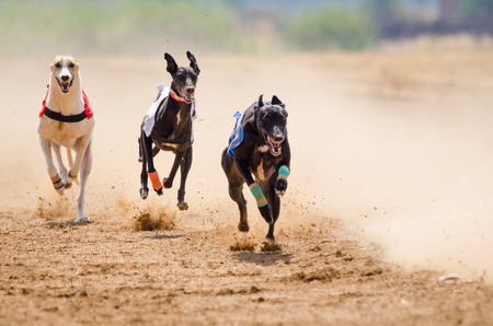 Photo for Greyhound at full speed during a race - Royalty Free Image