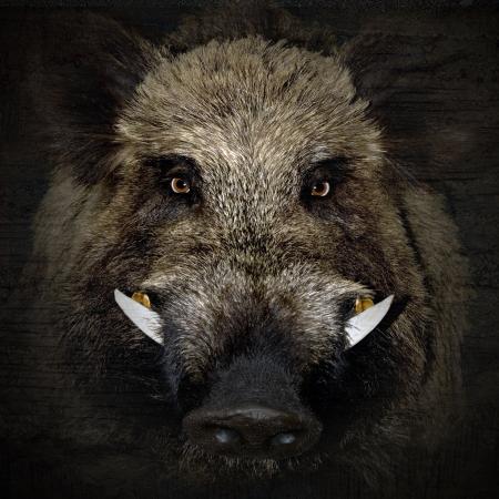 Photo pour wild boar portrait in black background  - image libre de droit