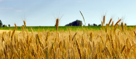 Photo pour Wheat field ripe grow, agriculture - image libre de droit