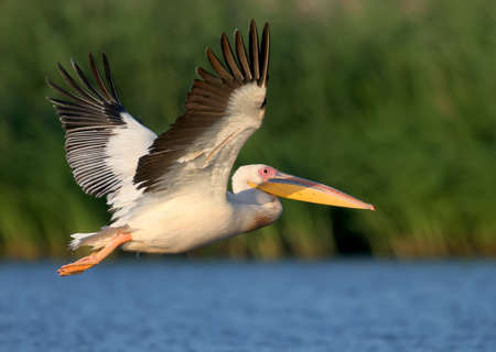 Photo for White pelican flight toward sunrise and watch photographer. - Royalty Free Image