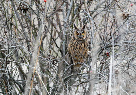 Photo for A long eared owl in winter plumage sits inside a  dense bush. - Royalty Free Image