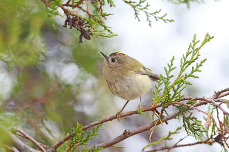 Photo for Close up photo of a Goldcrest ( Regulus regulus) sits on a branch against sky. Detailed and colorfull picture - Royalty Free Image