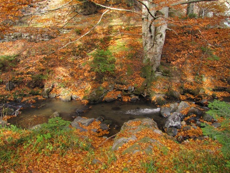big beech tree in autumn besides clear mountain stream