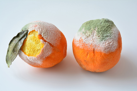 Foto de Two rotten oranges, one with dry leaf, both of them with damaged bark, covered by white and green mold, isolated on white background - Imagen libre de derechos