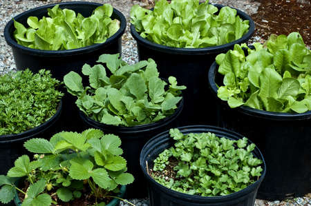 Photo pour Salad greens, herbs and vegetables grown in large black pots make for a small, manageable, portable garden - image libre de droit