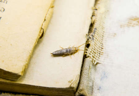 Photo for Insect feeding on paper - silverfish. Pest books and newspapers. - Royalty Free Image