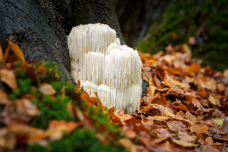 Photo for The rare Edible Lion's Mane Mushroom / Hericium Erinaceus / pruikzwam in the Forest. Beautifully radiant and striking with its white color between autumn leaves and the green moss Photographed on the Veluwe at the leuvenum forest in the Netherlands. - Royalty Free Image