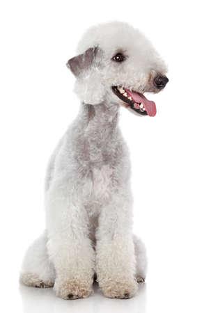 Photo pour Bedlington terrier sitting on a white background - image libre de droit