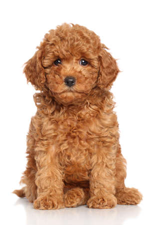 Photo for Miniature Poodle Puppy sits on a white background - Royalty Free Image
