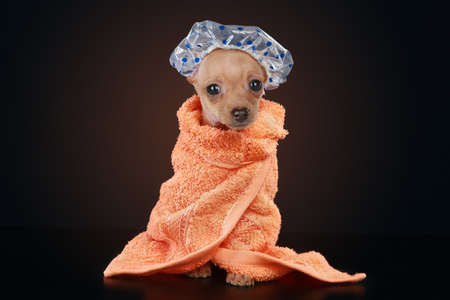 Chihuahua puppy sitting on dark background wearing orange bathrobe, a clear shower cap