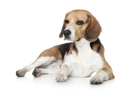 Photo pour Beagle dog in studio, lying on white background - image libre de droit