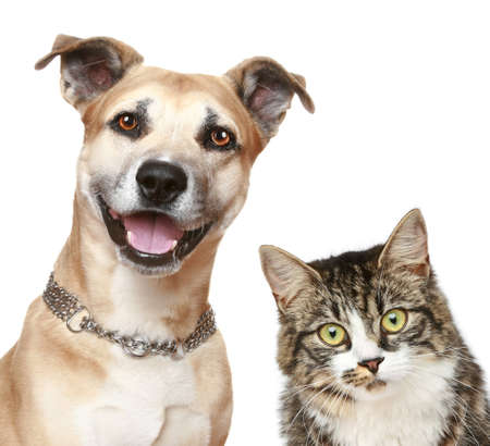 Staffordshire terrier puppy and a gray cat. Close-up portrait on a white background