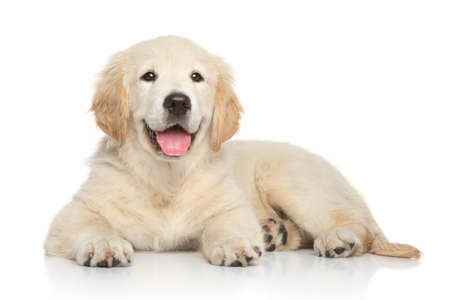Photo pour Golden Retriever puppy, 3 months old, lying on white background - image libre de droit
