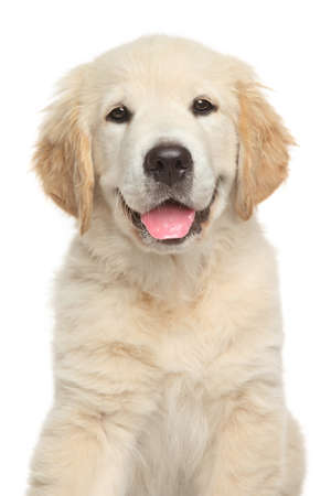 Photo for Golden Retriever puppy. Close-up portrait on white backgroun - Royalty Free Image
