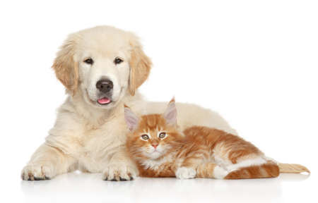 Foto de Golden Retriever puppy and kitten posing on white background. Cat and dog series - Imagen libre de derechos