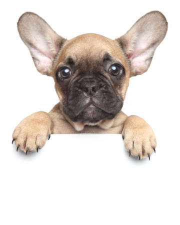 Photo for Funny French Bulldog puppy over a white banner - Royalty Free Image