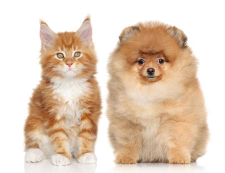 Spitz puppy and Ginger Maine Coon kitten posing on white background