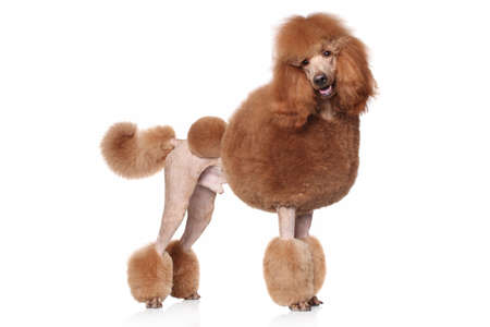 Photo for Red Standard Poodle. Portrait on a white background - Royalty Free Image