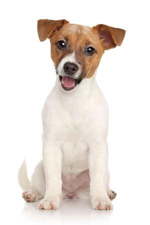 Photo pour Happy Jack Russell terrier puppy on a white background - image libre de droit