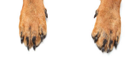 Photo for Rottweiler paws on isolated white background - Royalty Free Image